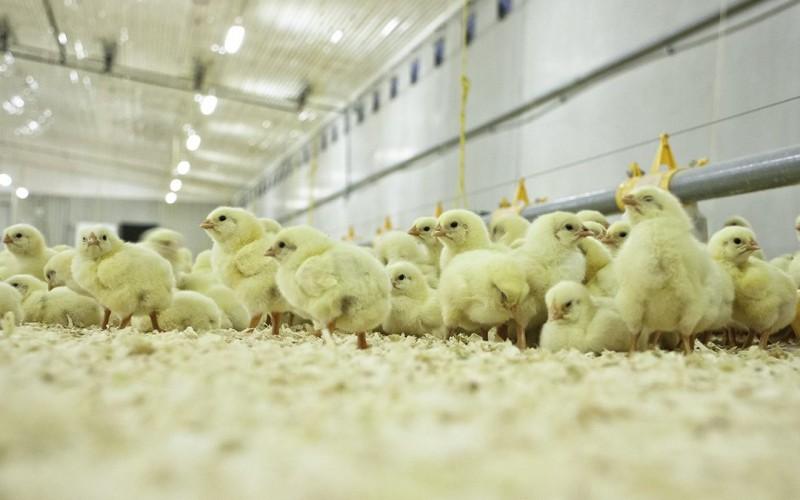 Под Борисоглебском Воронежской области запустили первую очередь птицефабрики