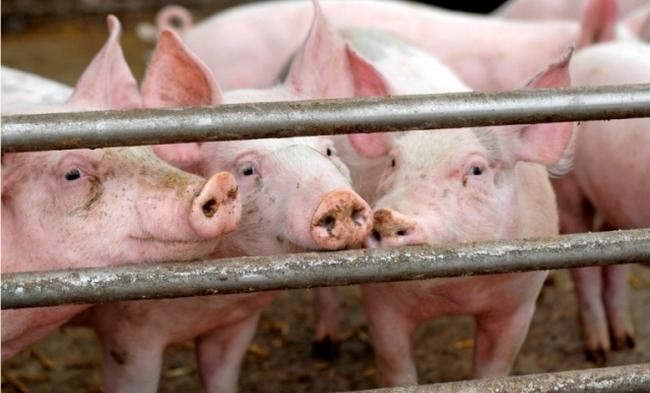 Краснодарский край: На Кубани вновь выявлена вспышка африканской чумы свиней
