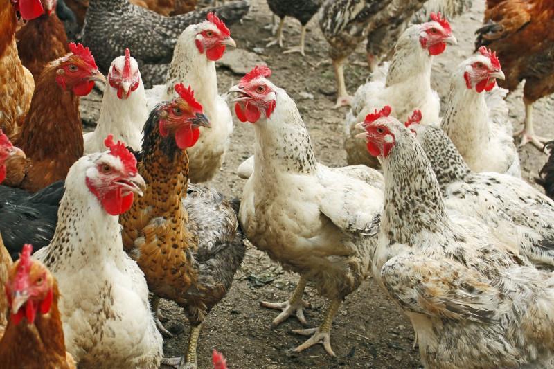 В Ростовской области зафиксировали первый в 2018 году очаг гриппа птиц
