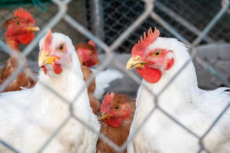 Ростовская область: на птицефабриках проводят профилактические меры против гриппа птиц