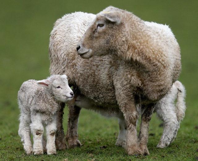 Ставропольский край: Поголовье овец выросло в Степновском районе