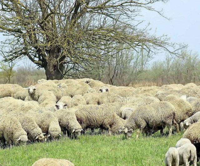 В Дагестане возродят лезгинскую породу овец