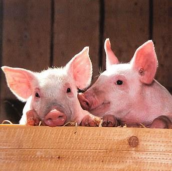 USDA: Мировое производство свинины в 2020 году сократится на 9%
