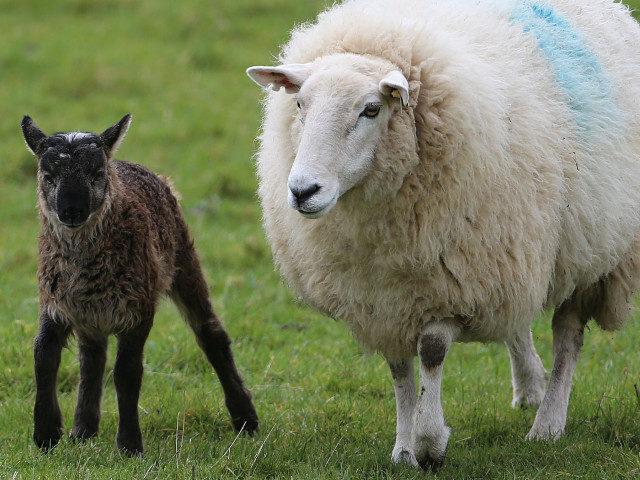 В Чеченской Республике численность овец и коз увеличилась на 98,4 %