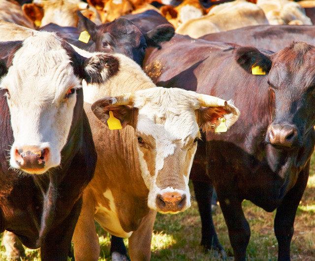 В Дагестане реализуются девять направлений господдержки животноводов