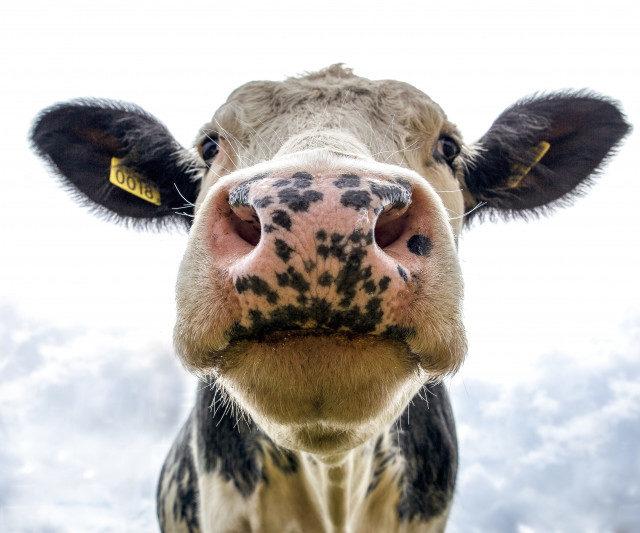 Животноводческие предприятия Кабардино-Балкарии награждены золотыми медалями в рамках «Золотой осени – 2020»