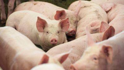 Новый завод по разведению племенных свиней построят на Кубани в 2021 году