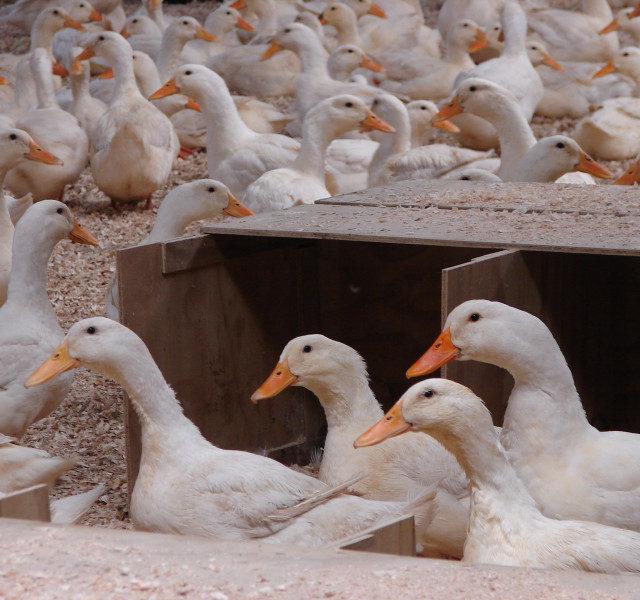 Утиная ферма в Ставропольском крае становится производством полного цикла