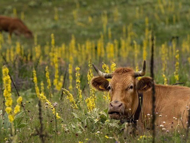 Более 3 млн голов скота вакцинировали против бруцеллёза в Дагестане