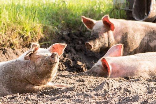 Имущество свинокомплекса в КБР не ушло с торгов за 378 млн рублей